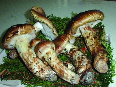Matsutake Mushrooms is a luxury food item or delicacy you must try