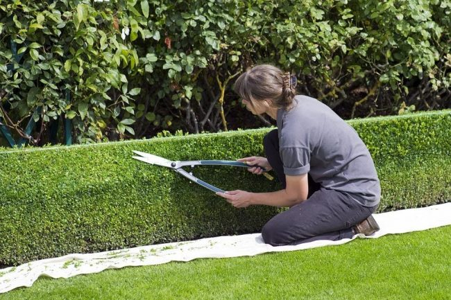 5 tips to maintain and trim your hedges of the lawn